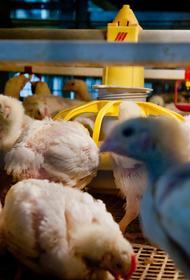 Южный Урал участвует в проекте по импортозамещению мясных кур