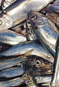 Каспийская килька радует учёных и рыбаков