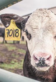 В США могут погибнуть миллионы коров