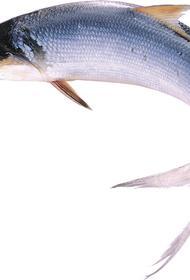Учёные обнаружили 5 млрд «хвостов» селёдки