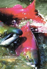 Золотая лихорадка на Камчатке угрожает красной рыбе