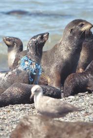 На Сахалине спасли 28 морских котиков