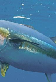 Учёные предлагают возобновить добычу тунца