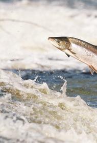 На Камчатке начался промысел тихоокеанских  лососей