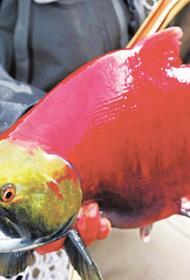 Российские рыбаки на Дальнем Востоке выловили в этом году почти 30 тысяч тонн тихоокеанских лососей