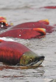 Вылов тихоокеанских лососей на Дальнем Востоке превысил 511 тысяч тонн