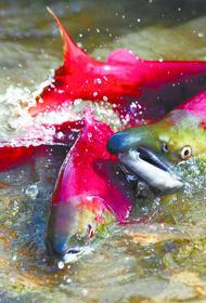 На Колыме и Камчатке зафиксированы рекордные уловы красной рыбы