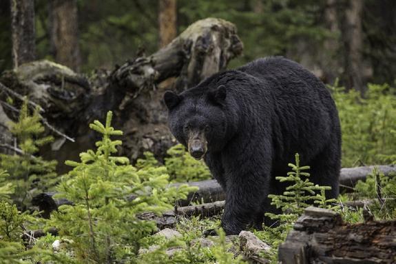 В США на видео попал устроивший ночной забег медведь