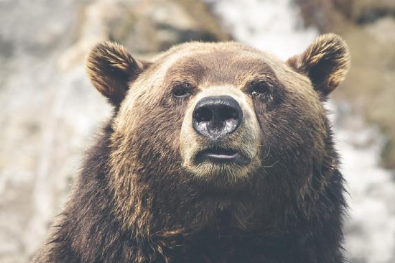 Медвежонок на прогулке: под Апатитами мирно прогуливается косолапый хищник
