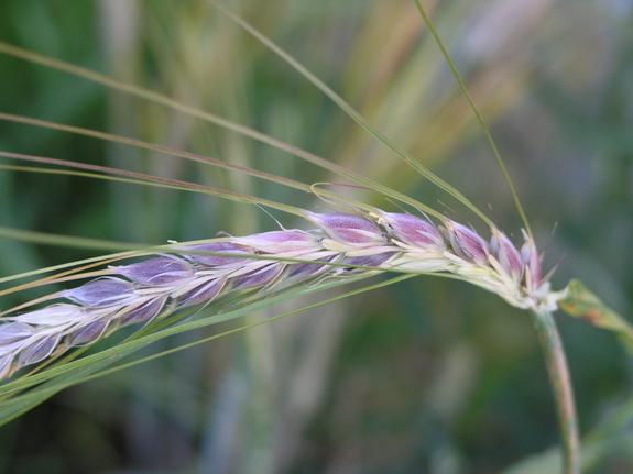 В России вывели фиолетовую пшеницу