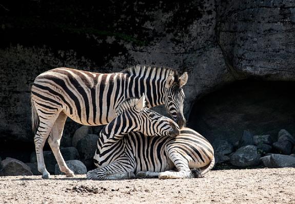 Биологи: зебрам нужны полосы для сохранения прохлады в жаркую погоду