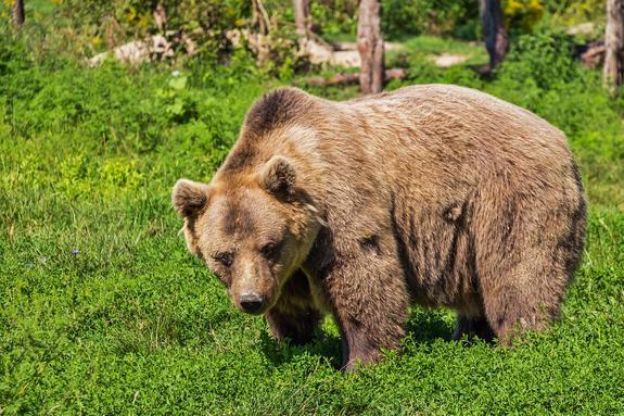 В Саратовской области из гаража сбежала медведица