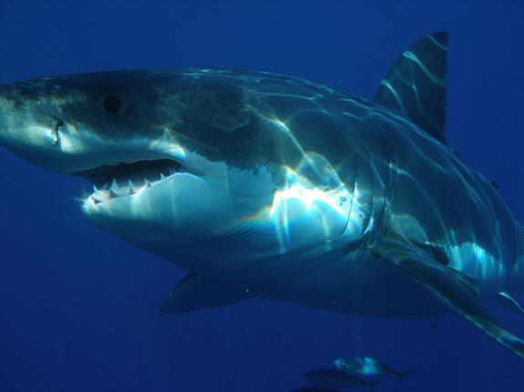 Акула напала на восьмилетнего ребенка в США