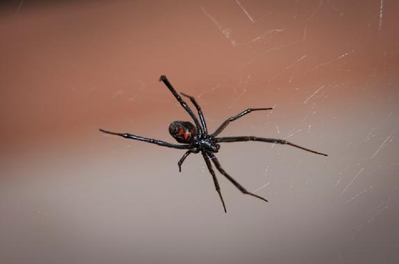 В Москве и Подмосковье из-за жары появились ядовитые пауки