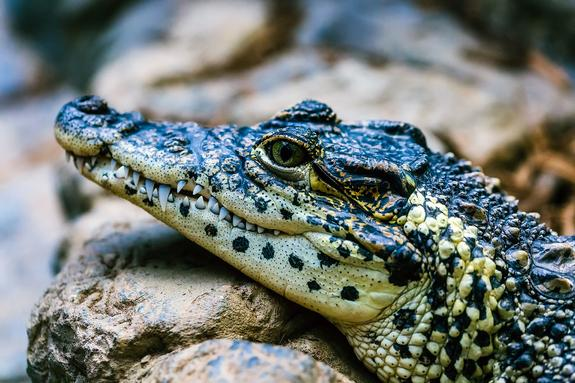 Цирк уехал, а крокодил остался: на Ярославском шоссе сбили экзотическое пресмыкающееся
