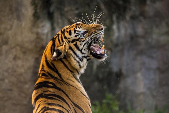 Тигр напал на человека в Приморье