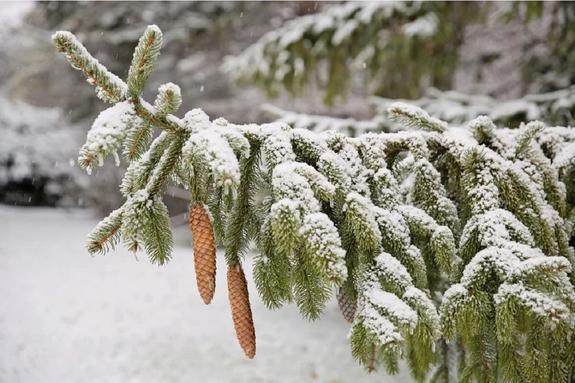 Главная новогодняя ель России отправится в Москву 15 декабря