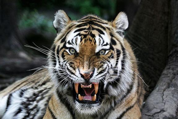 Под Хабаровском попал на видео тигр, сопровождающий автомобиль