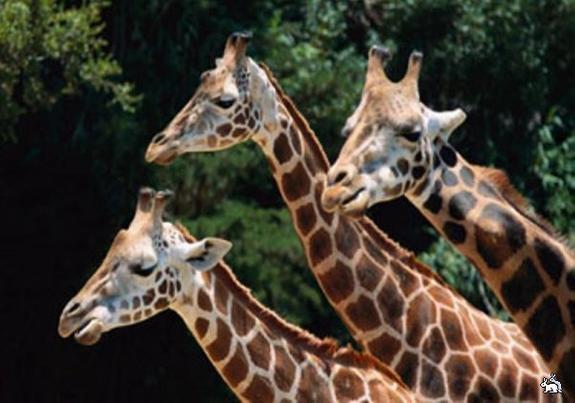 В Дании зверски убили генетически неправильного жирафа