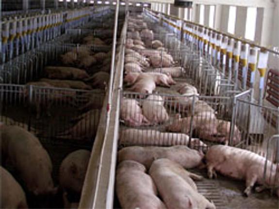 Африканская чума свиней курсовая работа 6124