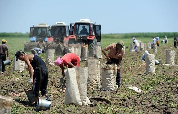 Надымчане примут участие в агроэксперименте по выращиванию картофеля