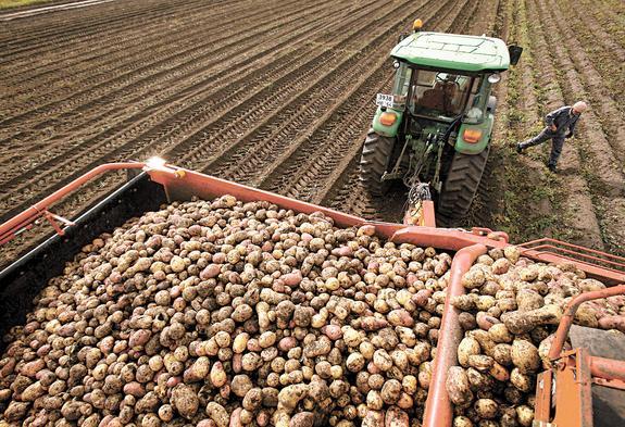 В светлое картофельное завтра!