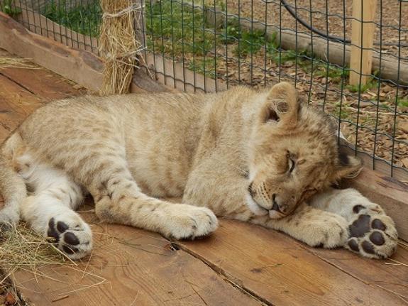 В Челябинске становится традицией спасать больших кошек