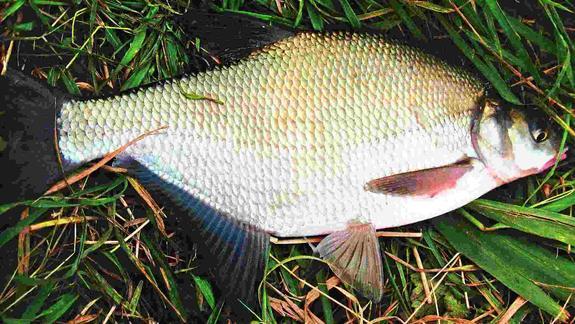 Рыба номер один