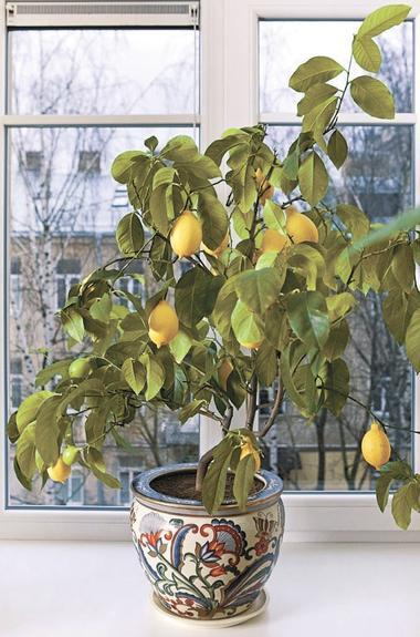 Лимоно-апельсины зреют круглый год