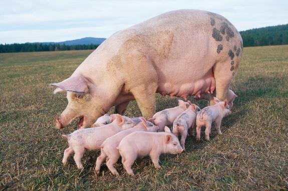 На Украине режут куриц, свиней и коров