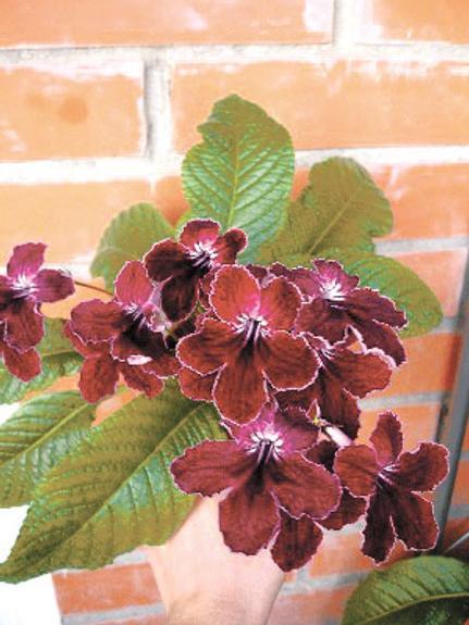 Стрептокарпус– цветок-букет к празднику