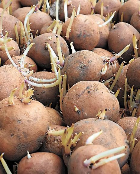 Картофель к яровизации готов