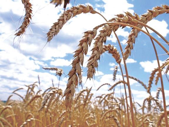 Увеличен прогноз урожая зерна