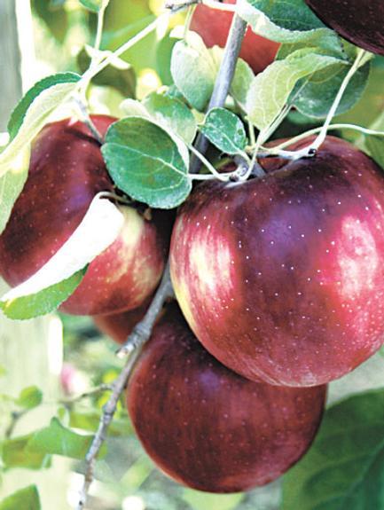 За океаном вывели  «космические» яблоки