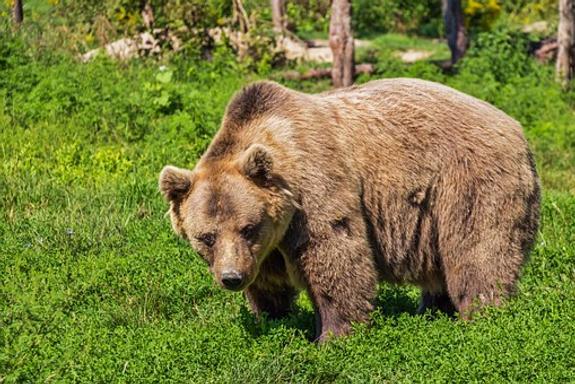 МЧС предупредило жителей Петропавловска-Камчатского о разгуливающем медведе
