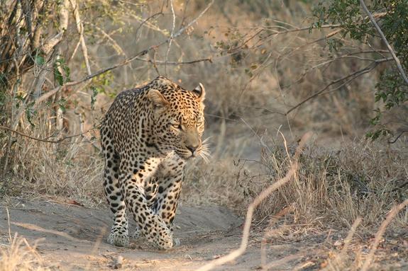 Два леопарда подрались из-за буйвола