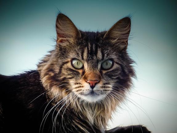 Петербуржца будут судить за похищение кошки породы мейн-кун