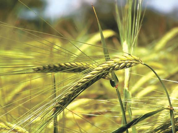 Из-за летних холодов в Сибири растут цены на пшеницу