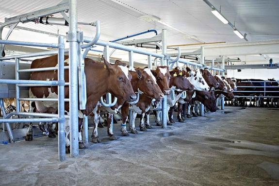 Сахалинская область лидирует среди дальневосточников по средним надоям молока