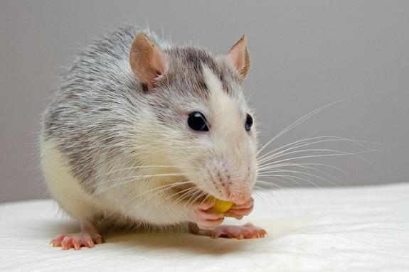 Крыса укусила воспитанницу детского сада в Санкт-Петербурге