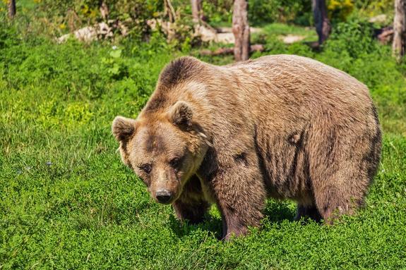В Архангельске сотрудник ГИБДД застрелил напавшего на мужчину медведя