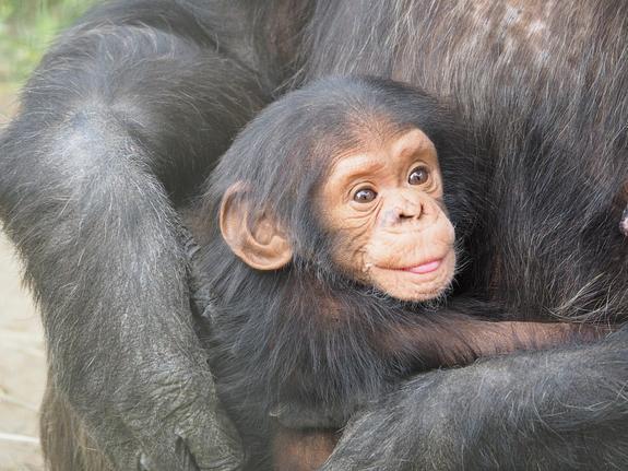 В Таиланде сняли, как шимпанзе играет со своим детенышем