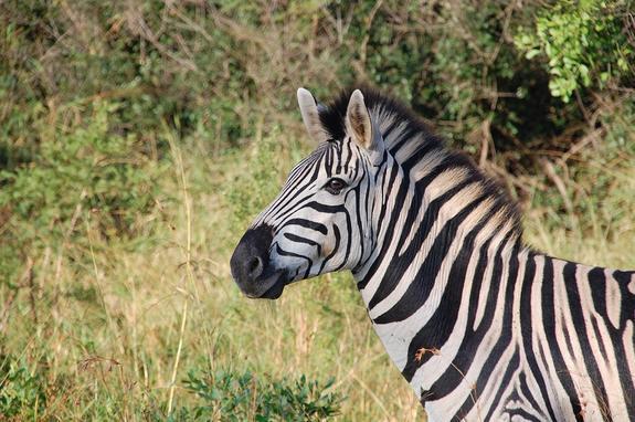 В США зебра заглянула в машину к туристам и получила угощение