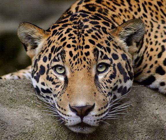 Видео: в Индии дворняга дала отпор леопарду