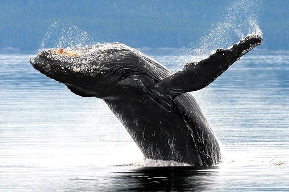 Россия и США поделили китов