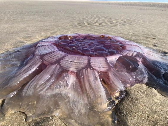 Гигантскую медузу выбросило на пляж Новой Зеландии