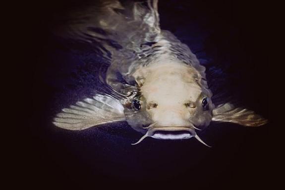 Опубликовано фото 32‐килограммового сома, которого удалось поймать в Сочи
