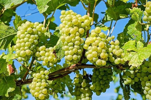 Виноградная кожица и семена являются защитой от рака