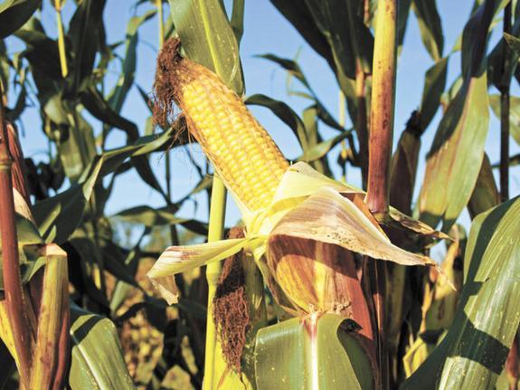 Прогноз урожая зерна растёт