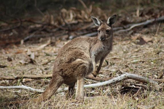 В Австралии кенгуру жестоко избил целую семью